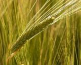 Ministerul Agriculturii: subventiile se platesc intr-un ritm accelerat
