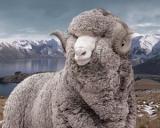 Ministerul Agriculturii plateste 1 leu pe kilogramul de lana