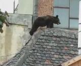 Pielea ursului din padure, luata inutil in oras