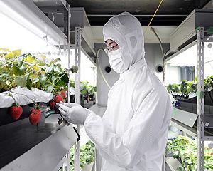 Sharp: De la electronice, la culturi de capsuni