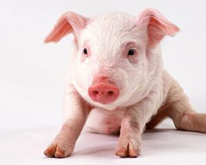 Pig 26, porcul modificat genetic