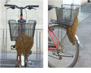 De cand merg albinele cu bicicleta?