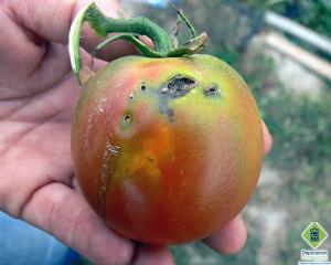 Molia tomatelor impune carantina in Republica Moldova