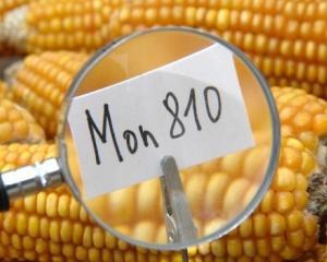 Franta vrea sa interzica culturile de porumb modificat genetic in Uniunea Europeana