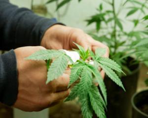 Marijuana medicala, fara restrictii in SUA