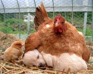 STUDIU: Gaina e proasta pentru ca are carnea gustoasa, iar cainele e destept pentru ca nu e comestibil