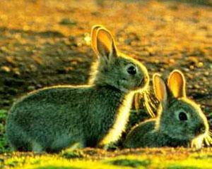 Analizele Manager.ro: Dezastru ecologic. Cum au distrus iepurii un intreg continent