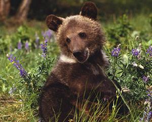 Zarnesti, sanctuarul ursilor din Romania