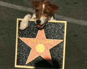 Uggie si amprentele in cimentul de la Hollywood