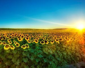 Floarea soarelui pare sa fie pariul castigator in 2012