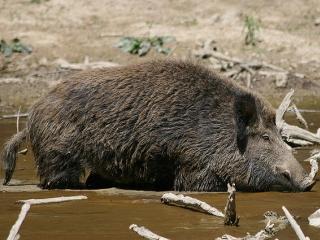 Macelul mistretilor de la Balc a luat sfarsit. Bogatasii Europei au impuscat peste 100 de animale