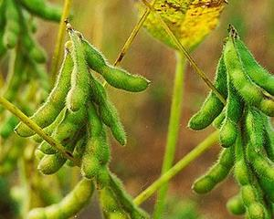 Suprafetele cultivate cu soia au scazut de 12 ori