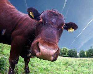 Semnele Apocalipsei? Fermierii elvetieni au montat cipuri pe vaci pentru a vedea cand sunt in calduri
