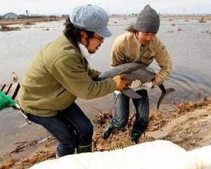 Un pui de delfin a fost salvat dupa ce a fost aruncat de tsunami pe o plantatie de orez