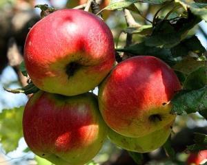 5 lucruri mai putin cunoscute despre mere