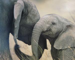 Studiu: Elefantii sunt la fel de inteligenti ca delfinii