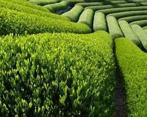 Chinezii dau 78 de milioane de dolari pentru un institut de studii inalte privind ceaiul