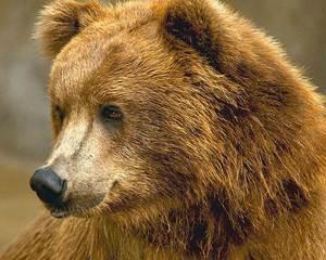 Ursul, vedeta la romani