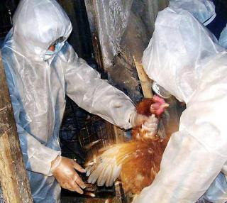 Japonia este in alerta maxima din cauza gripei aviare