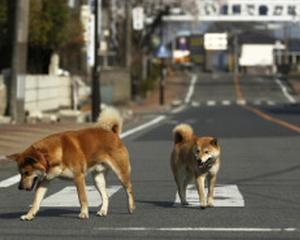 Criza nucleara din Japonia: Guvernul are in vedere restrictionarea accesului in zona de evacuare din jurul centralei