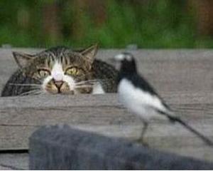 Pisicile domestice ucid anual intre 500.000 si un miliard de pasari