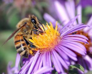 Ce s-ar intampla daca dispar albinele