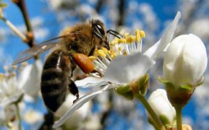 Un gigant retailer vrea sa dezvolte albine robot pentru polenizare