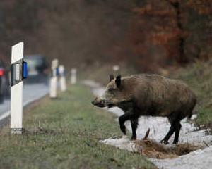 Accidentele rutiere cauzate de animalele salbatice produc pagube de 500 milioane euro in Germania
