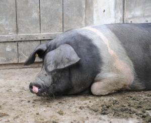 Dupa  Alege oaia  s ar putea sa alegem si porcul