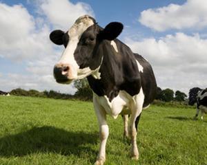 Romania este recunoscuta ca tara oficial libera de bruceloza bovina