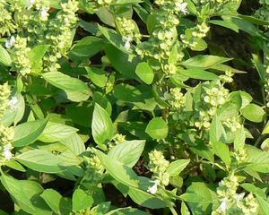 Busuiocul, in topul plantelor aromatice cultivate de romani