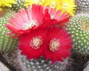 Cactusii, plantele exotice preferate de romani