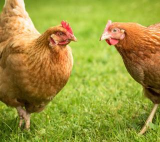 Industria carnii de pui in Romania: o privire de ansamblu