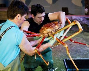 Muzeul Antipa prezinta Crabii-Paianjen