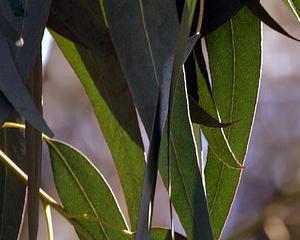 Banii nu cresc in copaci, dar s-ar putea sa fie aur pe frunzele de eucalipt