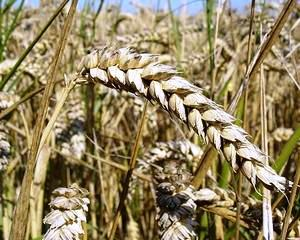 Ministrul Agriculturii: Avem cea mai mare productie de grau din ultimii opt ani