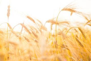 Seceta a redus masiv productia de grau din Romania