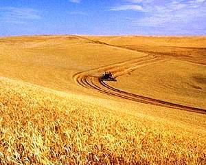 Ce productie de grau are Romania in acest an