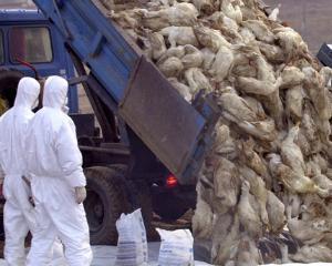 Gripa aviara loveste China