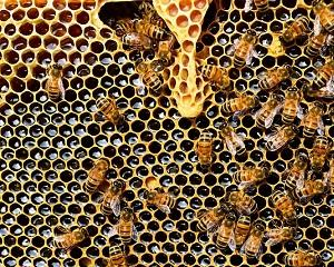 Miere Manuka si laptisor de matca - cele mai apreciate produse apicole
