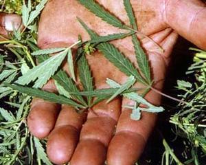 Nemtii ar putea cumpara cannabis legal