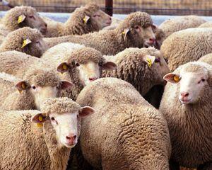 Tacerea mieilor: 2,5 milioane vor fi sacrificati de Paste