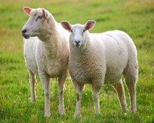APIA a platit subventiile pentru ovine si caprine