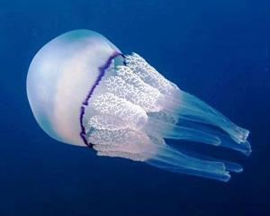 Pentru a salva pestii, mancati meduze