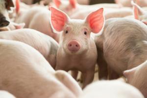 Pesta porcina africana, confirmata in opt judete din Romania. Care sunt simptomele virusului