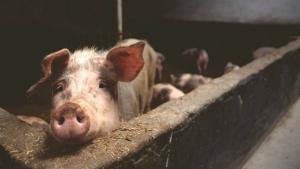 Romanii, ramasi fara porc de Craciun: Peste 230.000 de capete au fost sacrificate in 12 judete
