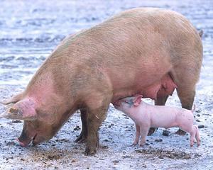 Porcii romanesti, buni pentru UE din 2014