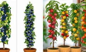 Fa-ti propria livada de pomi fructiferi in apartament. Este posibil datorita pomilor urbani