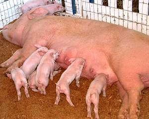 Crescatorii de animale: Cota ridicata a TVA-ului incurajeaza evaziunea fiscala