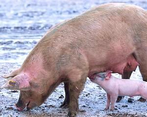 Porcul romanesc, liber in China